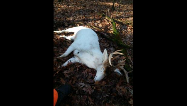 This albino buck was mistakenly shot on opening morning of the 2017 gun deer season, Nov. 18, in the Town of Albany north of Mondovi. DNR officials say the hunter saw the brown patch on the buck's forehead and thought it was legal to shoot. He later turned himself in upon realizing the error.